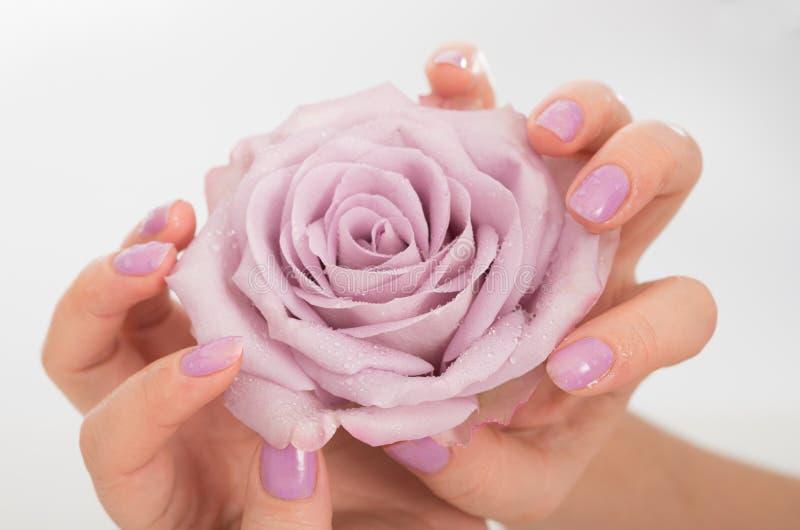 Mãos manicured lilás e uma rosa imagens de stock royalty free