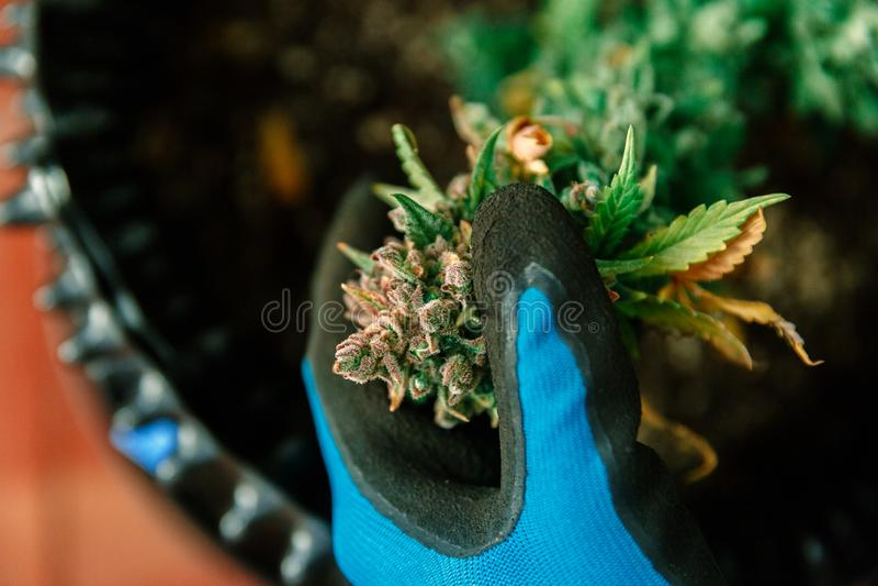 Mãos que guardam o botão do cannabis Marijuana médica foto de stock royalty free