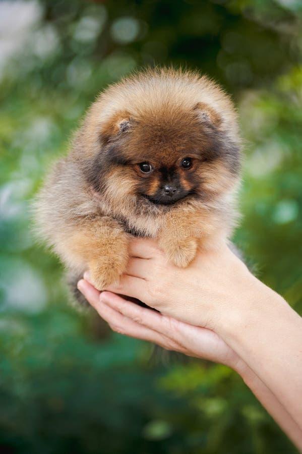Mãos que guardam o cachorrinho bonito de Pomeranian imagem de stock