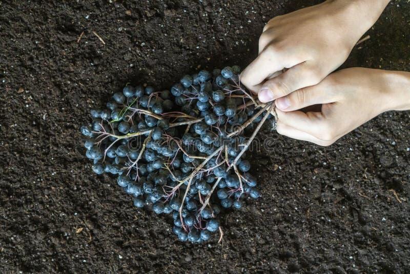 Mãos que guardam um ramo do mirtilo na terra f do solo imagem de stock royalty free