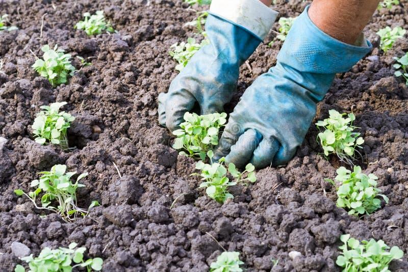 Mãos que plantam as plântulas vegetais imagem de stock