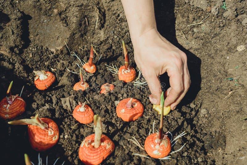 Mãos que plantam o bulbo do tipo de flor no jardim imagens de stock royalty free