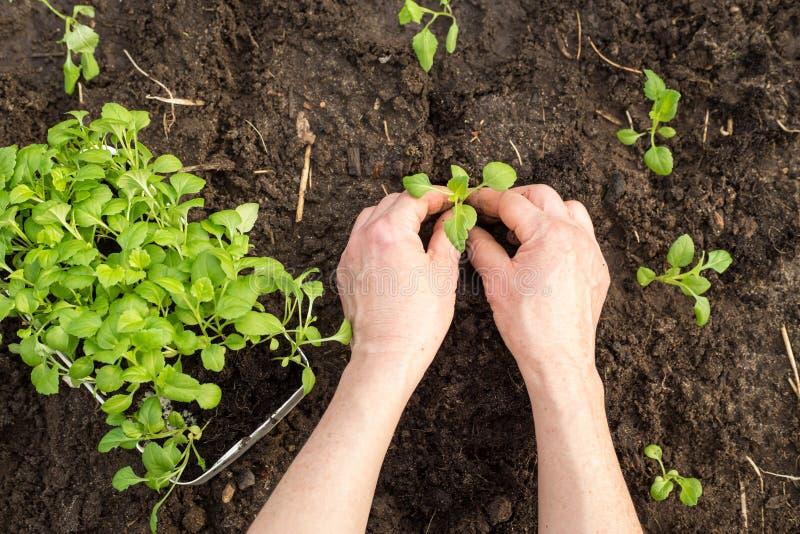 Mãos que plantam a planta nova foto de stock