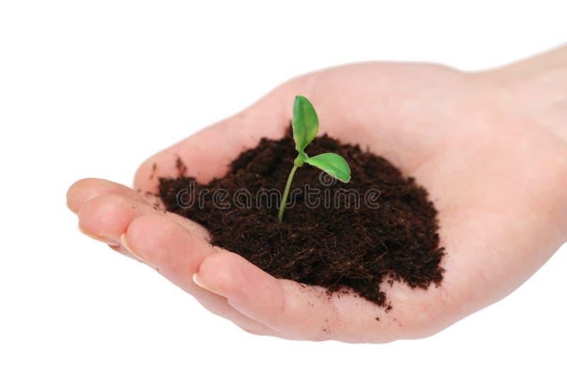 Mãos que prendem o seedling foto de stock