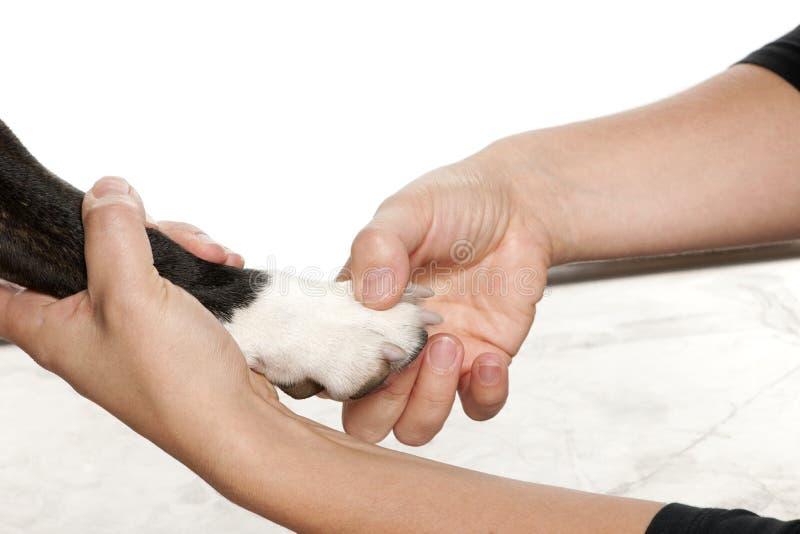 Mãos que prendem a pata de um cão na frente do branco imagens de stock royalty free