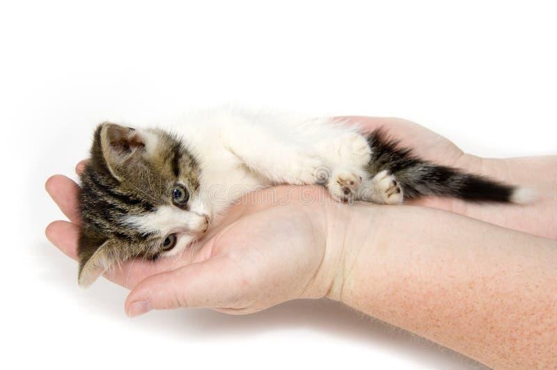 Mãos que prendem um gatinho tired no fundo branco imagens de stock royalty free