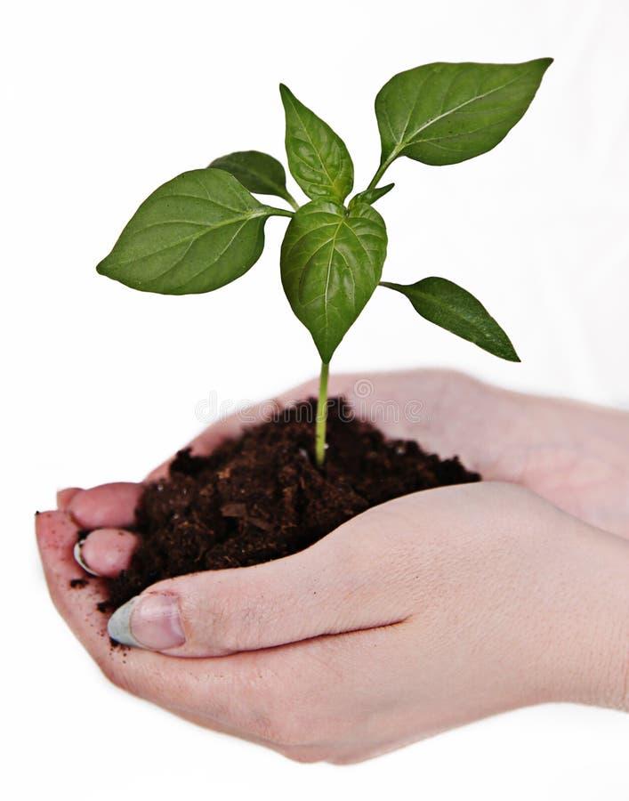 Mãos que prendem uma planta fotografia de stock
