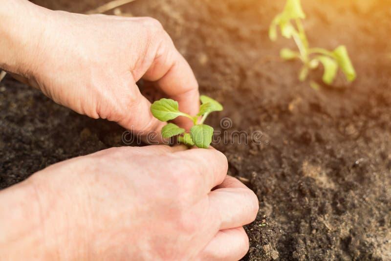 Mãos que semeiam plantas verdes novas no jardim na mola na luz solar fotografia de stock