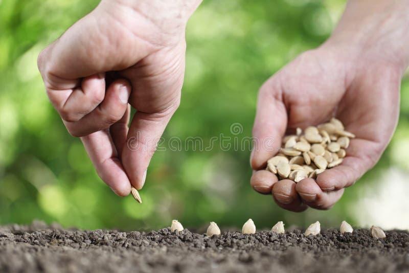 Mãos que semeiam sementes no solo do jardim vegetal, fim acima no gre fotos de stock royalty free