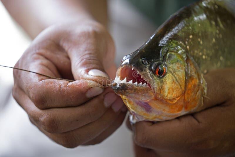 Mãos segurando uma piranha grande imagem de stock