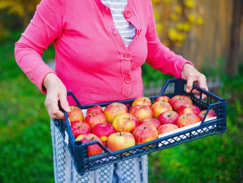 Mãos superiores da mulher que guardam a caixa das maçãs fotografia de stock