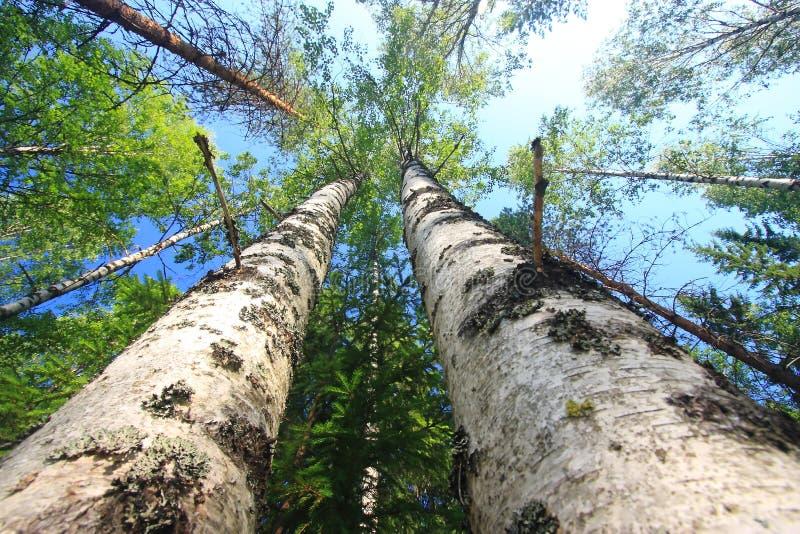 Mäßige Wälder der hohen Bäume lizenzfreie stockfotos