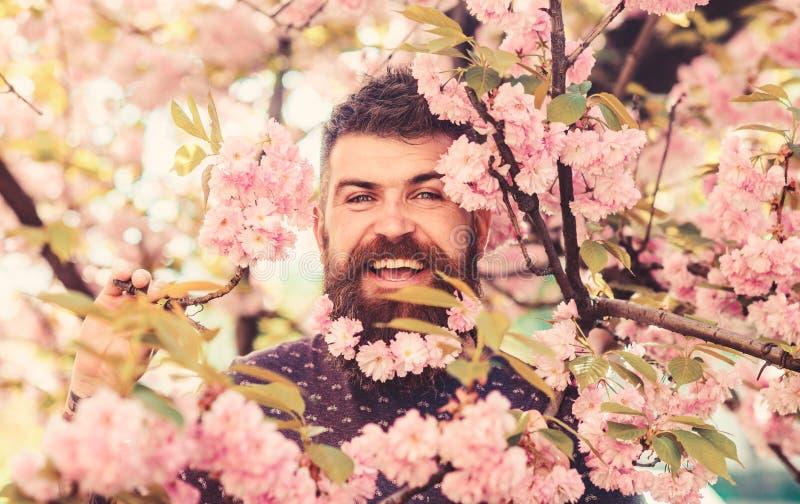 Mężczyzna z brodą i wąsy na szczęśliwych twarzy blisko menchiach kwitnie Modniś z Sakura okwitnięciem w brodzie Brodaty mężczyzna obrazy stock