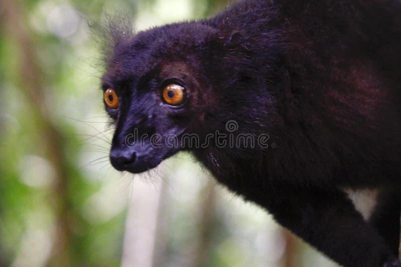 Męski czarny lemur, Eulemur macaco, Madagascar, Afryka fotografia stock