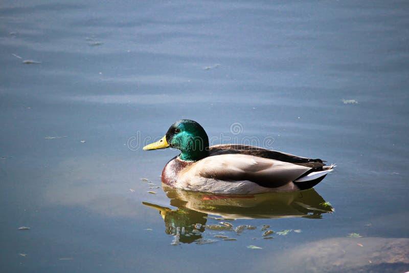 Męski mallard pływa w spokój wodzie obraz royalty free