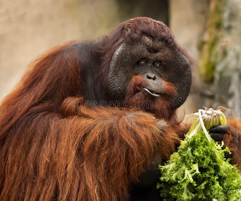 Męskie Orangutan przekąski przy zoo Tampa przy Lowery parkiem fotografia stock