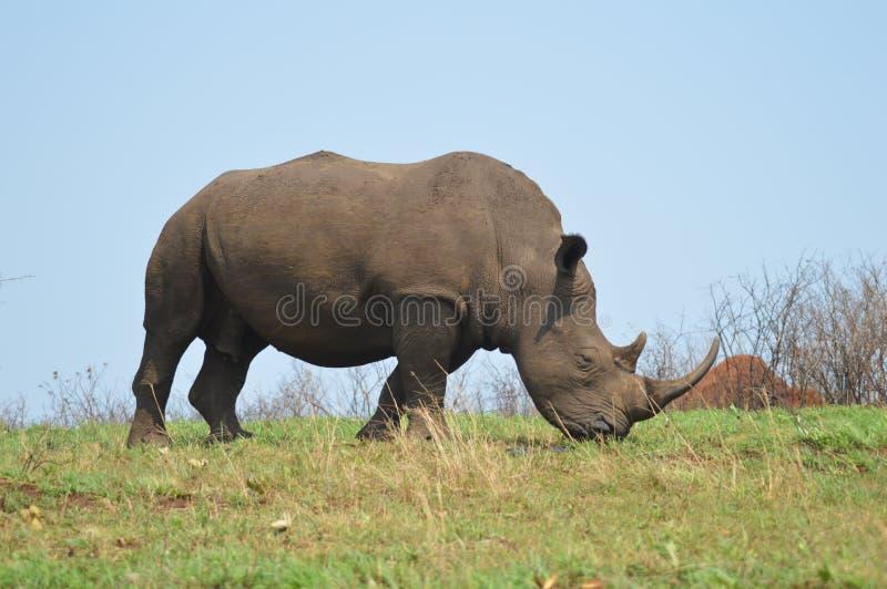 Męskiego byka Śliczna Biała nosorożec lub nosorożec w gemowej rezerwie w Południowa Afryka fotografia royalty free