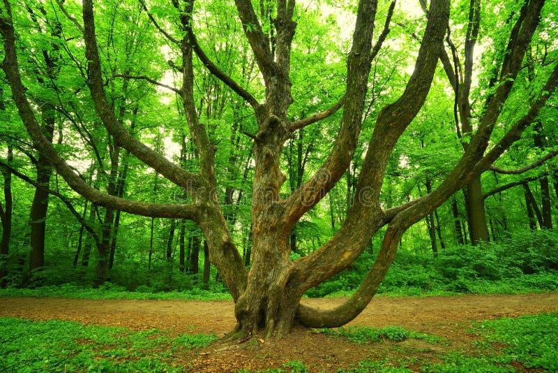 mächtiger Baum im Wald lizenzfreies stockfoto