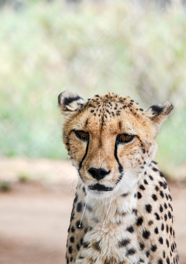 Mächtiger Gepard stockfotografie
