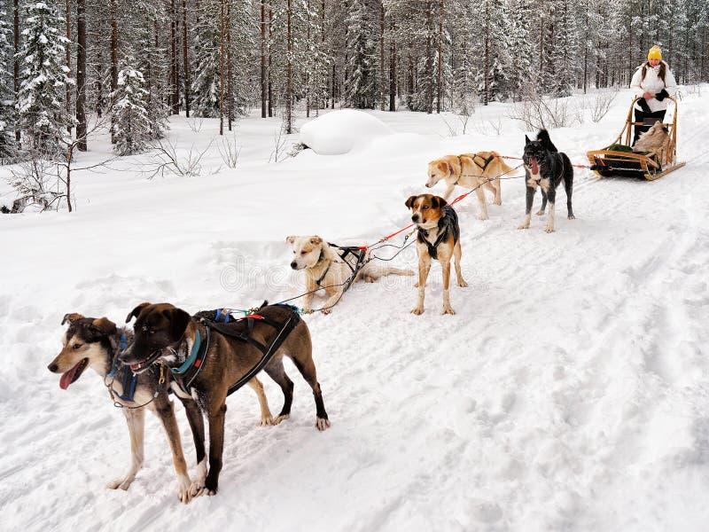 Mädchen im heiseren Schlitten in Lappland Finnland stockfoto