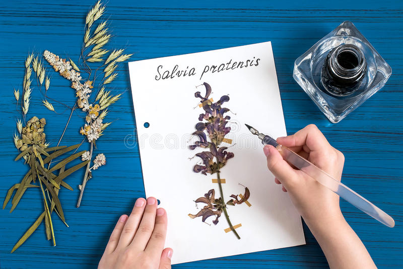Mädchen macht Herbarium von der Krautsalbeiwiese stockfotografie