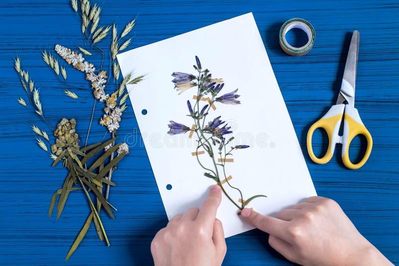Mädchen macht Herbarium von Kräuter Glockenblume lizenzfreies stockbild