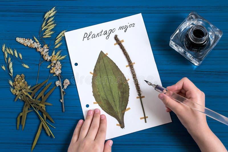 Mädchen macht Herbarium von Kräuter Plantagomajor lizenzfreies stockfoto
