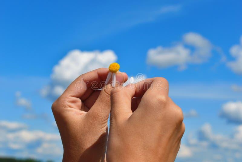 Mädchen schätzt auf Kamille auf blauem Himmel Weibliche Hände halten ein weißes Gänseblümchen stockfotografie