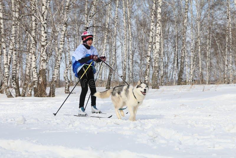 Mädchen teilgenommen an dem Skijoring unter Birken mit einem Hunderasse sibirischen Husky in Russland stockfotografie