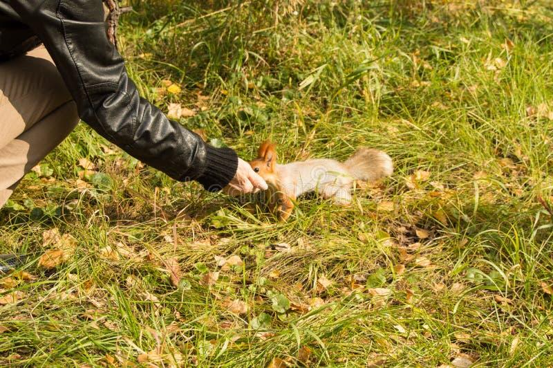 Mädchen zieht ein graues Eichhörnchen mit einem flaumigen Endstück in Herbst Park ein stockbilder