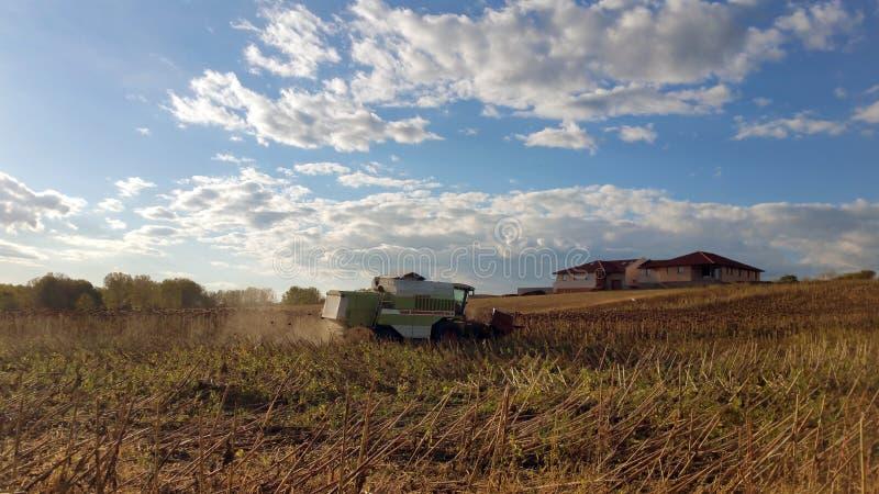 Mähdrescher, der auf einem Sonnenblumenfeld, gegen einen blauen Himmel mit weißen Wolken mäht stockfotografie
