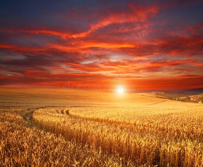 Mäktig dramatisk solnedgång över fält av moget vete, färgrika moln i himmel, skörd för korn för skördsäsongjordbruk arkivfoto