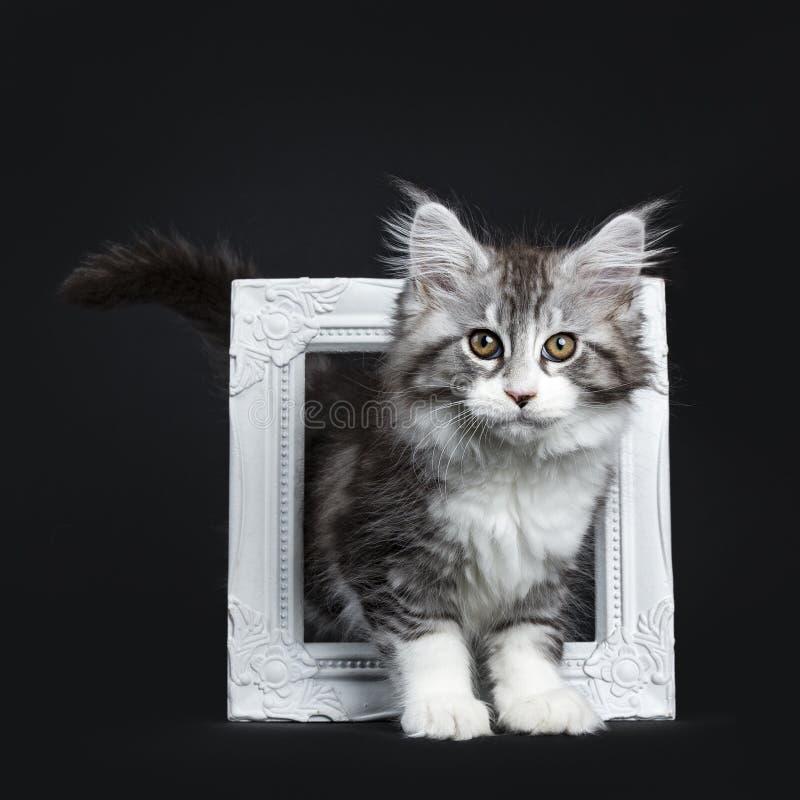 Mäktig svart strimmig kattMaine Coon katt arkivbilder