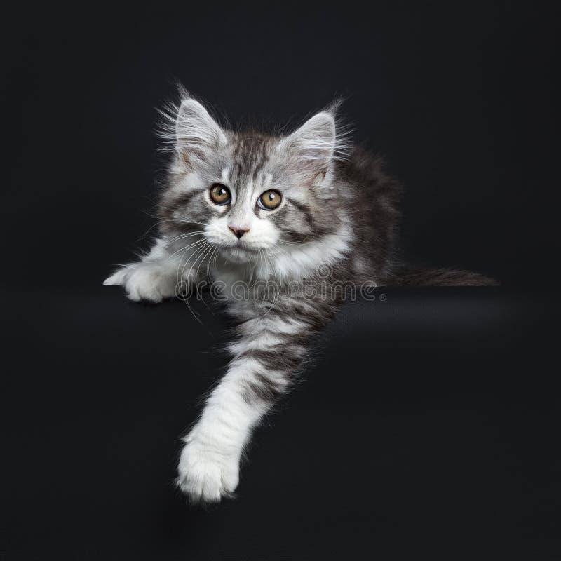 Mäktig svart strimmig kattMaine Coon katt arkivbild