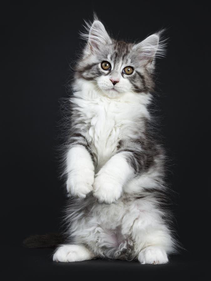 Mäktig svart strimmig kattMaine Coon katt royaltyfri bild