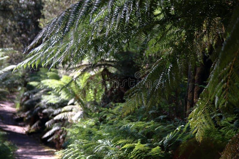 Mäktiga jätte- ormbunkar på en vandring till och med Leven Canyon i norr Tasmanien arkivfoton
