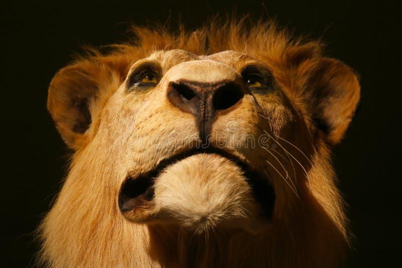 Mäktigt huvud av en stolt seende välfylld manlig lejonuppstoppning i frontal sikt för closeup royaltyfria foton