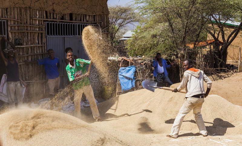 Män fläktar skörden med skyfflar på vinden Weita Omo dal ethiopia royaltyfria foton