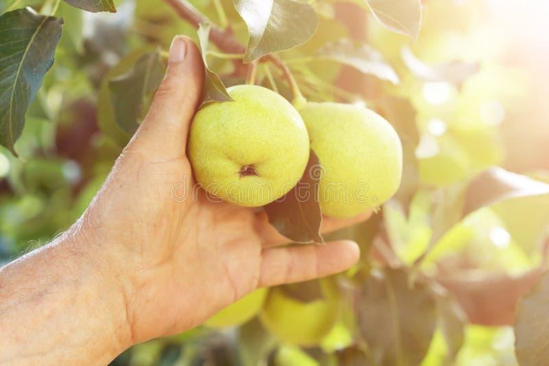 Män räcker drar att skörda av ett päron frÃ¥n filialen av trädet fotografering för bildbyråer