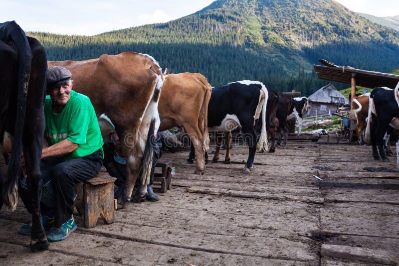 Män som mjölkar kor på lantgården fotografering för bildbyråer