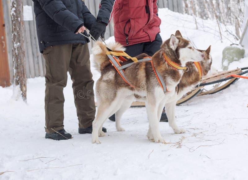 Män som rymmer skrovlig hundkapplöpning i vinter arkivfoton