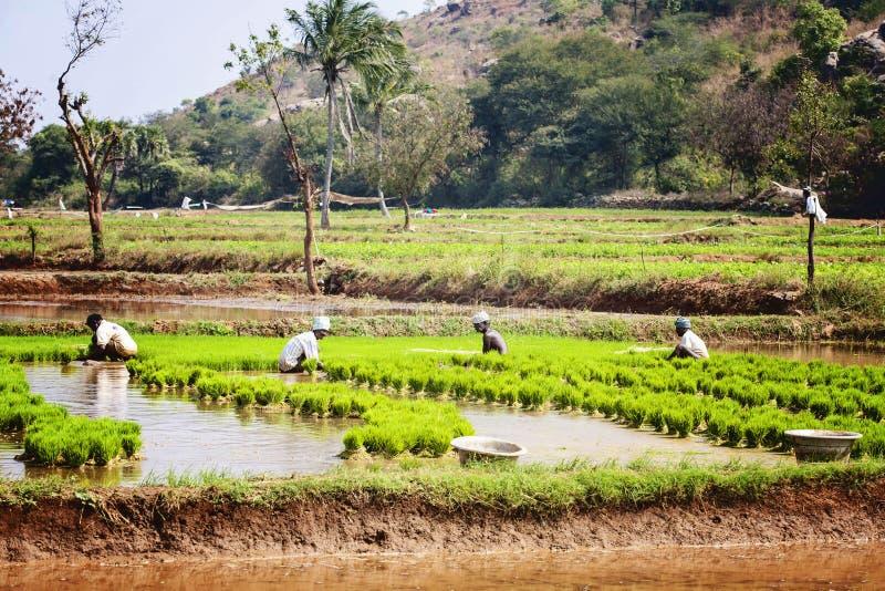Männer, die am Reisfeld arbeiten lizenzfreie stockfotografie
