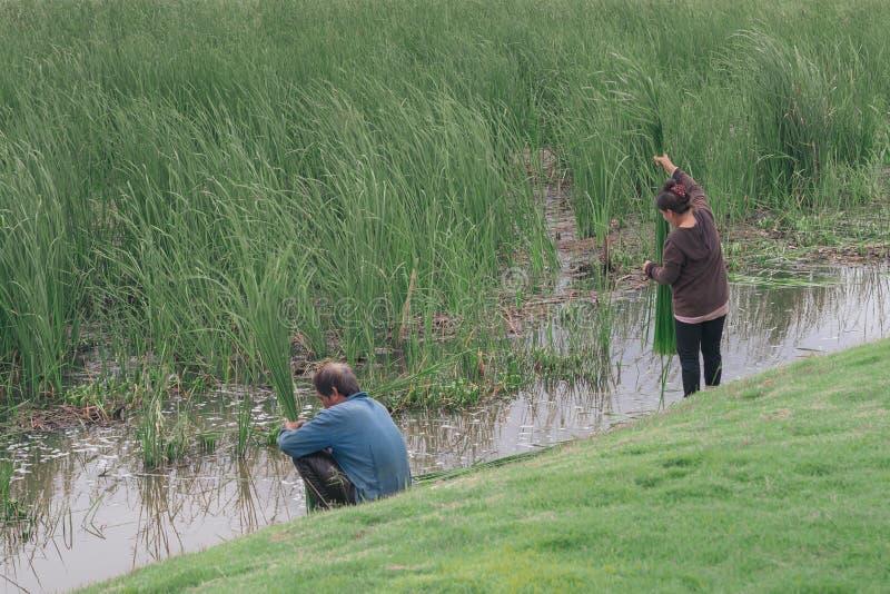 Männer und Frauen sammeln Schilfe stockfotos