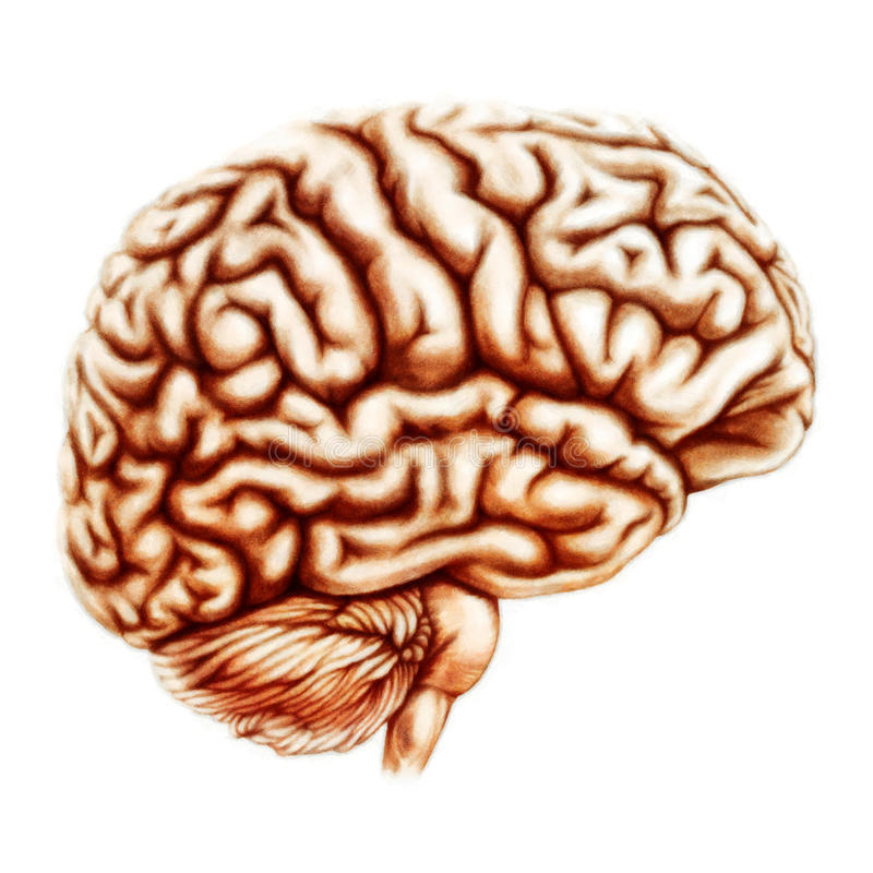 Människa Brain Anatomy Illustration vektor illustrationer