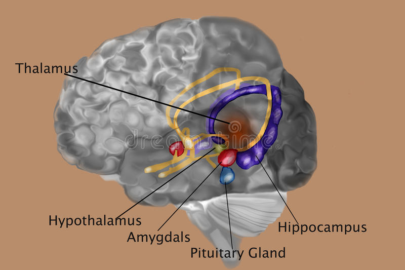 Människa Brain With Labels stock illustrationer