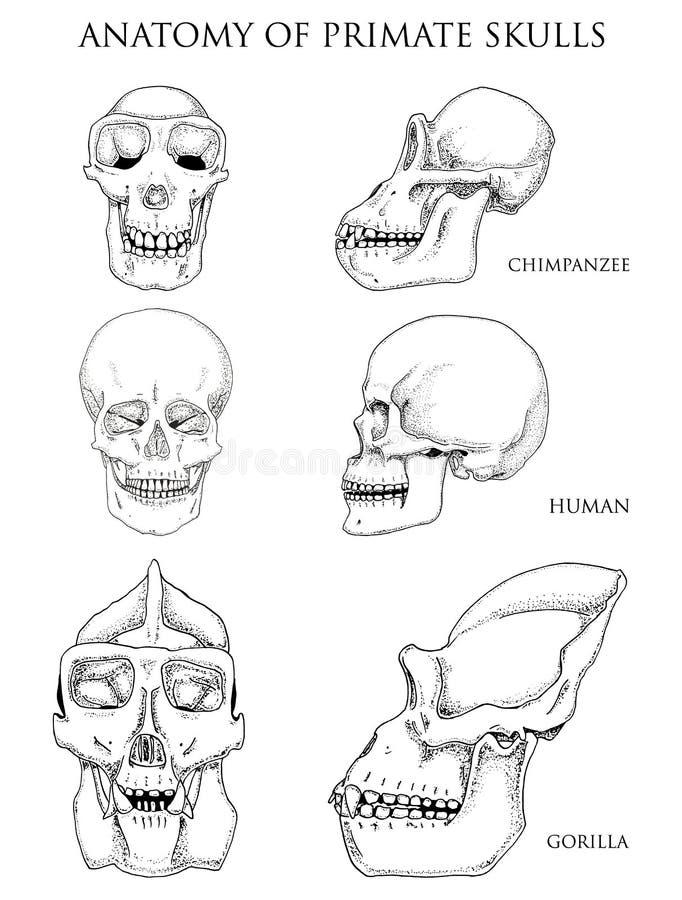 Människa och schimpans, gorilla biologi- och anatomiillustration den inristade handen som dras i gammalt, skissar och tappningsti royaltyfri illustrationer