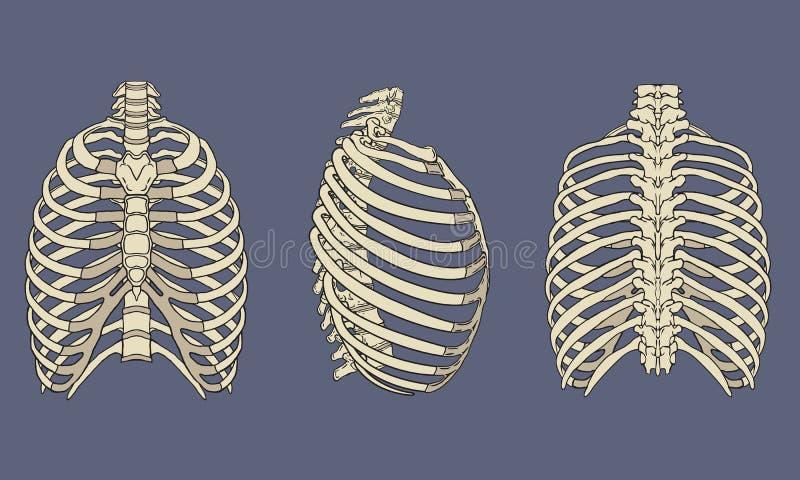 Människa Rib Cage Skeletal Anatomy Pack royaltyfri illustrationer