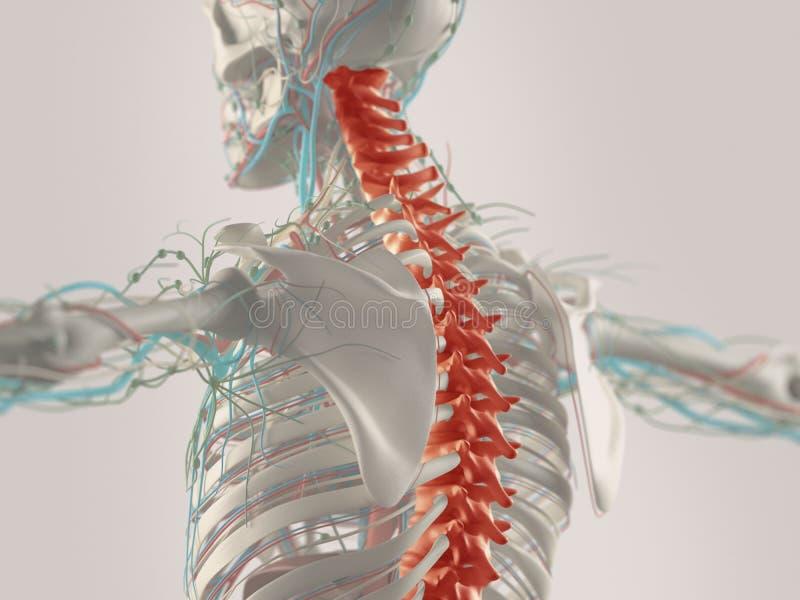 Människaanatomi i 3D fotografering för bildbyråer