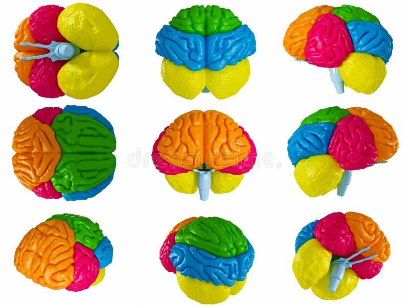 Människahjärna vektor illustrationer