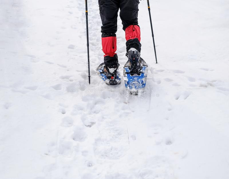 Människan i snöskor med skakstolpar är snön i skogen fotografering för bildbyråer
